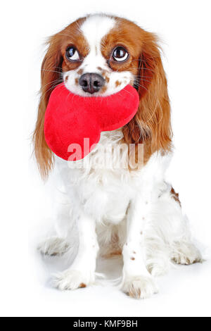 Cute cavalier king charles spaniel dog puppy on isolated white studio background. Dog puppy with plush big heart. - Stock Image