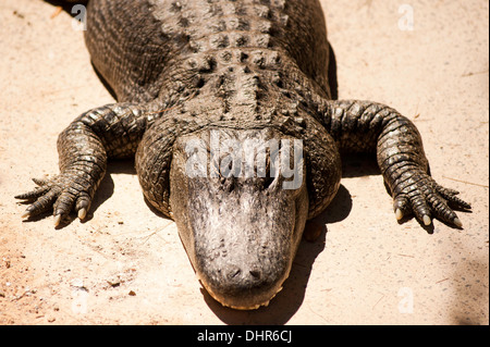 crocodile sunbathing close up - Stock Image