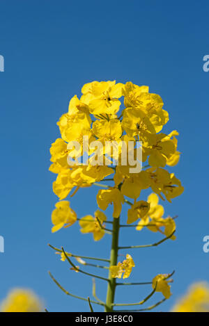 A healthy crop of yellow Oilseed Rape near Cawdor village near to the Moray Firth Scotland. - Stock Image
