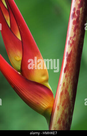 Heliconia (Heliconia latispatha) in rainforest. La Selva Biological Station, Costa Rica. - Stock Image