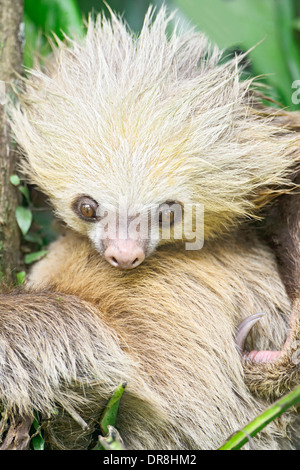A young two-toed sloth resting in a tree in Costa Rica. - Stock Image
