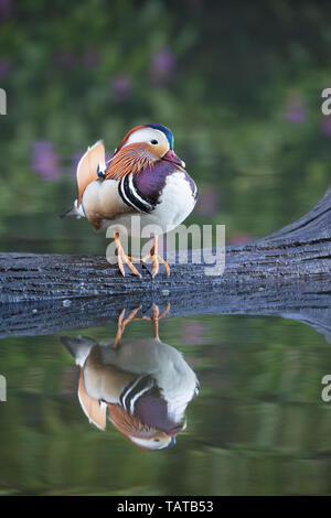 Male mandarin duck stood on a log with its reflection below - Stock Image