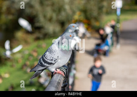 Common pigeons or rock doves Columba (livia domestica) in a row on a metal barrier receeding away from the camera with only the nearest  in focus - Stock Image