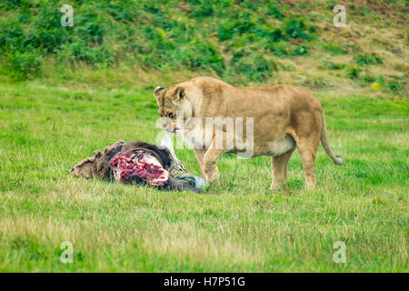 Adult lioness at feeding time. - Stock Image
