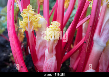 Forced rhubarb - pink stalks and yellow leaves freshly uncovered in domestic garden - Stock Image