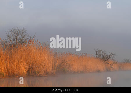 Reeds on the river in the fog, foggy mood in the morning on the river Peene, Nature Park Peental, Mecklenburg-Western Pomerania - Stock Image