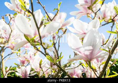 Magnolia tree with white flowers in the summer sun and blue sky - Stock Image