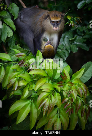 Staring macaque monkey mother with a baby in the forest, Tonkpi Region, Man, Ivory Coast - Stock Image