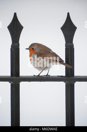 European Robin or Eurasian Robin perched on railings in snow, (Erithacus rubecula),Regents Park, London, United - Stock Image