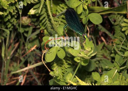 Beautiful demoiselle damselfly (Calopteryx virgo) male coupled to large red damselfly (Pyrrhosoma nymphula) tandem pair UK - Stock Image