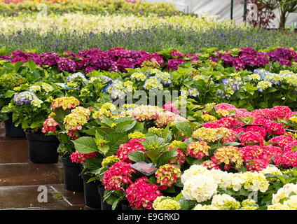 Rows of flowers for sale at a retail garden center, nursery or market garden. - Stock Image