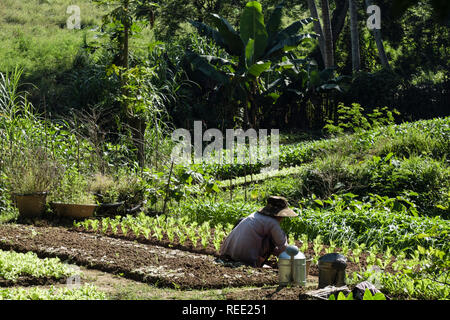 A Vietnamese woman gardens a small vegetable plot in an allotment beside the rainforest. Luang Prabang, Louangphabang province, Laos, southeast Asia - Stock Image