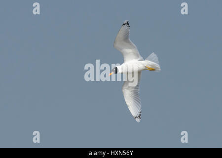 Pallas's gull (Larus ichthyaetus) - previously known as great balck-headed gull, adult in flight, moulting into - Stock Image