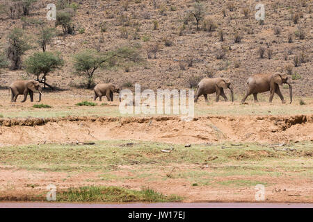 African Elephant family walking along the river bank one after the other - Stock Image