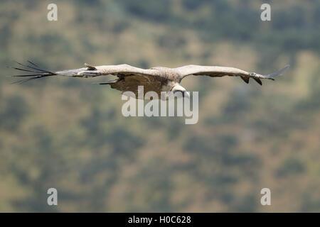 Griffon Vulture at Monfragüe National Park, Extremadura, Spain - Stock Image