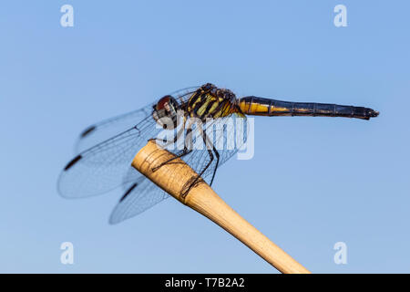 A female Blue Dasher (Pachydiplax longipennis) dragonfly perches on vegetation. - Stock Image