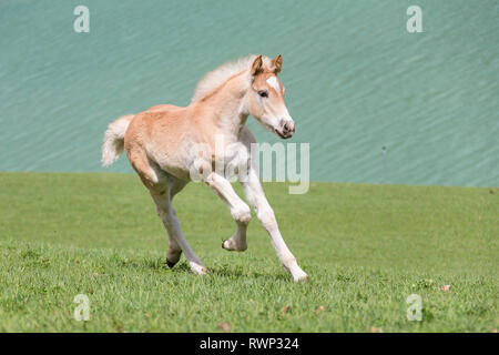 Haflinger Horse. Filly-foal galloping on grass next to a lake. South Tyrol, Italy - Stock Image