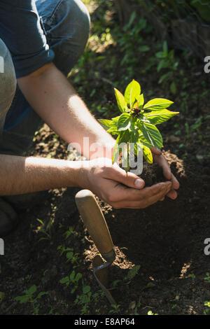 Gardener putting plant into ground - Stock Image