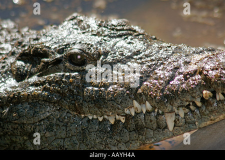 south africa outdshorn game park crocodile - Stock Image