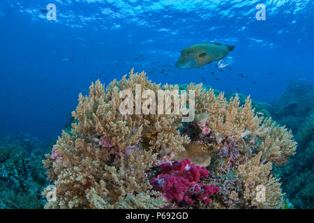 Napoleon or humphead wrasse (Cheilinus undulatus) accompanied by a bluefin trevally (Caranx melampygus) swimming over reef with soft coral in foregrou - Stock Image