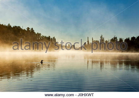 A loon swims in early morning as fog rises from Poplar Lake in northern Minnesota. - Stock Image