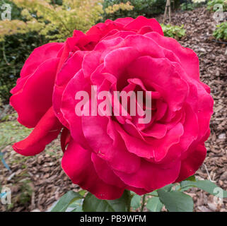 Alec's Red rose, a red hybrid tea rose variety. - Stock Image