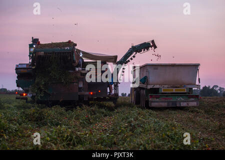 Badajoz, Spain - August 23th, 2018: Ttomato harvester at work. Back view at dusk. Vegas Bajas del Guadiana, Spain - Stock Image