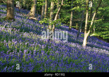 UK. An English wood in springtime, filled with native bluebells (Hyacinthoides non-scripta) - Stock Image
