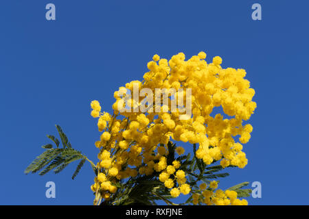 Flowering mimosa, Spring arrived - Stock Image