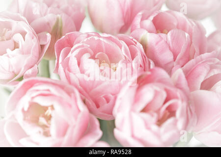 Pink tulip flowers in full bloom, nostalgic and romantic background template with vintage effect - Stock Image