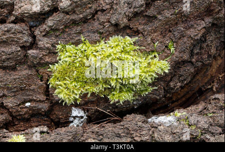 Moss on a tree trunk - Stock Image