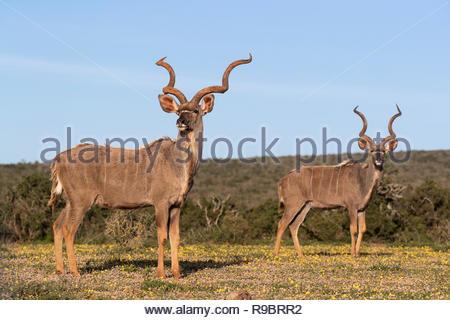 Greater kudu (Tragelaphus strepsiceros) among spring flowers, Addo Elephant national park, Eastern Cape, South Africa - Stock Image