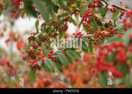 Red berries on a tree - Stock Image