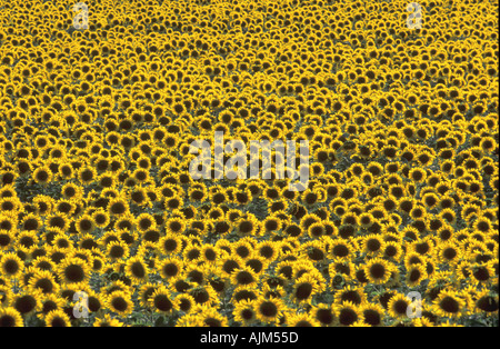 Field of sunflowers common sunflower mirasol Helianthus annuus in France with all yellow heads against the sun - Stock Image