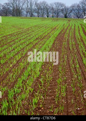 arable grass crop sprouting through soil in farm land - Stock Image