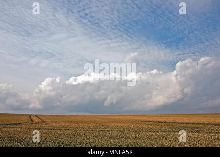 A wheat crop ripening on coastal farmland, under the gathering clouds of a summer's day on the Yorkshire coast. - Stock Image