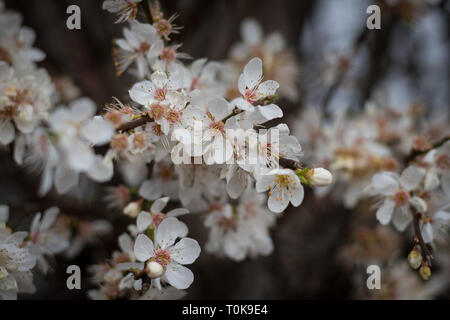 Cherry blossoms, Prunus padus, delicate fruit tree flowers in London, United Kingdom - Stock Image