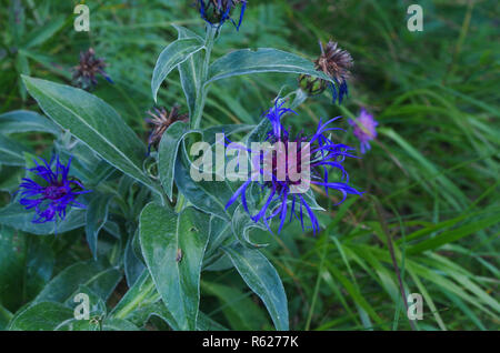 Alpine plant Centaurea montana with a blue flower and green shoots - Stock Image