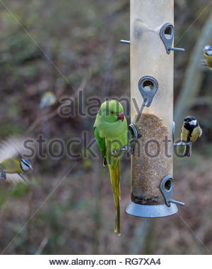 An invasive non-native Ring Necked Parakeet (Psittacula krameri) dominates a bird feeder in a garden in Surrey, UK, as native birds try to feed. - Stock Image