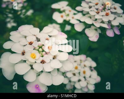 White candytufts iberis flowers - Stock Image