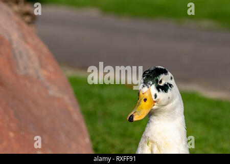 Close up portrait of colorful duck head - Stock Image