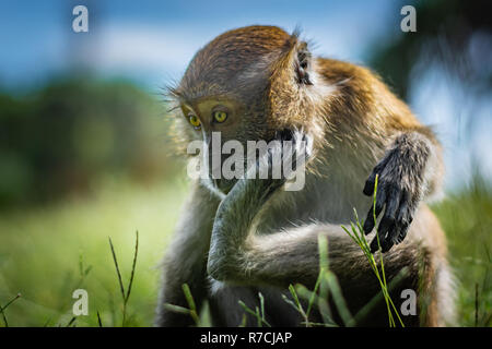 The macaque scratches on the head using the lower limb, the monkey sits on a green grassy meadow, National Park in Thailand - Stock Image