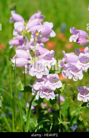 Purple Gerardia Flowers Texas - Stock Image