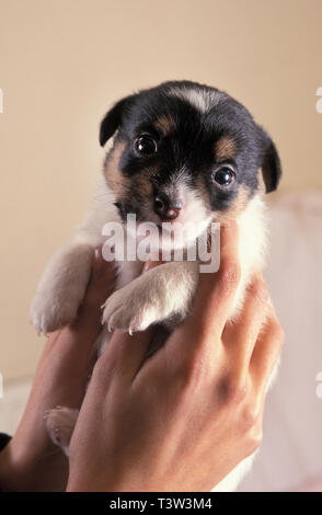 newborn Jack Russell terrier puppy held in owners hands - Stock Image