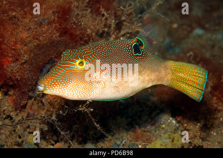 Fingerprint Toby, also known as Compressed Toby, Fingerprint Sharpnose Puffer, Fine-spotted Pufferfish, Canthigaster compressa, adult. Tulamben, Bali - Stock Image