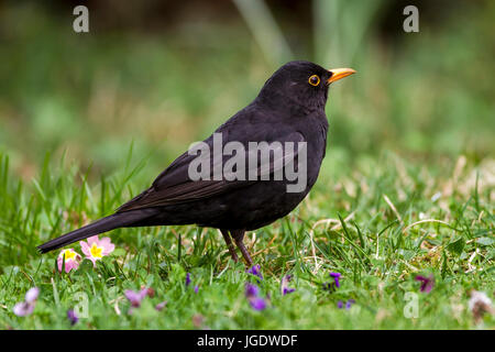 Blackbird, Turdus merula little man, Amsel (Turdus merula) Männchen - Stock Image