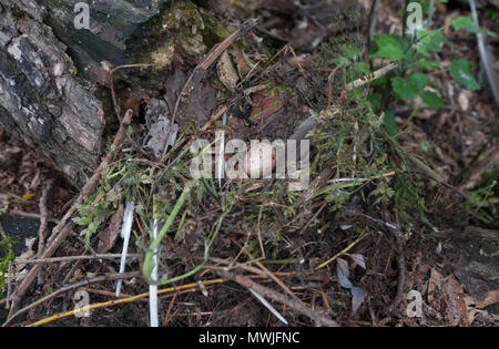 nest and single egg of Common Moorhen, (Gallinula chloropus), also known as Moorhen, Swamphen, Regents Park, London, United Kingdom - Stock Image