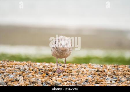 juevenile herring gull on pebble beach. - Stock Image