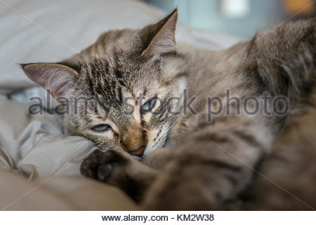 Common gray young cat is comfortably restin on the bed at home. Carresing  this animals can only be done when they - Stock Image