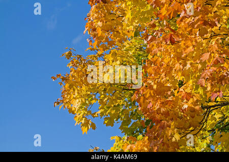 Yellow-Red Colored Maple Leaves Against Blue Sky - Stock Image